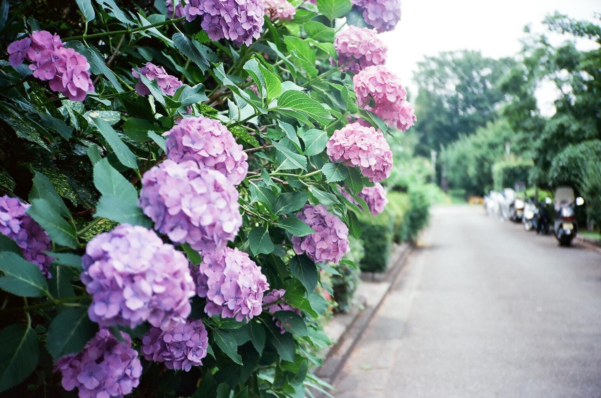 Hydrangea 35mm filmphotography | gato.gordi, bloom, blossom, floral