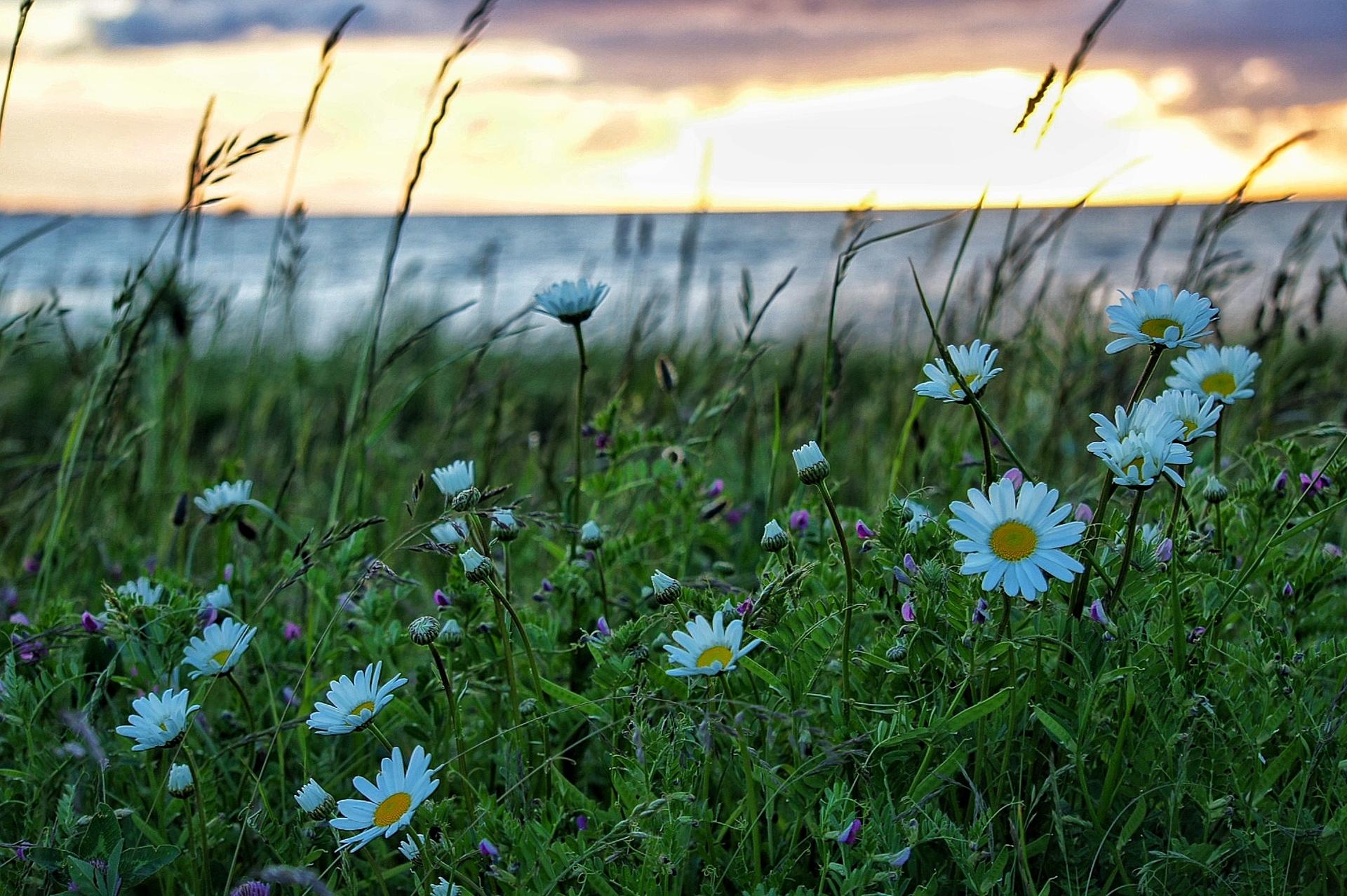 field | hayfield, flower, grass, summer