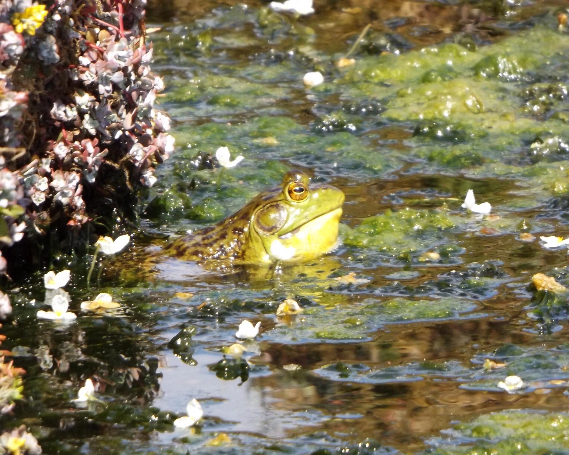 Frog    tiinger, animal, duck, lake