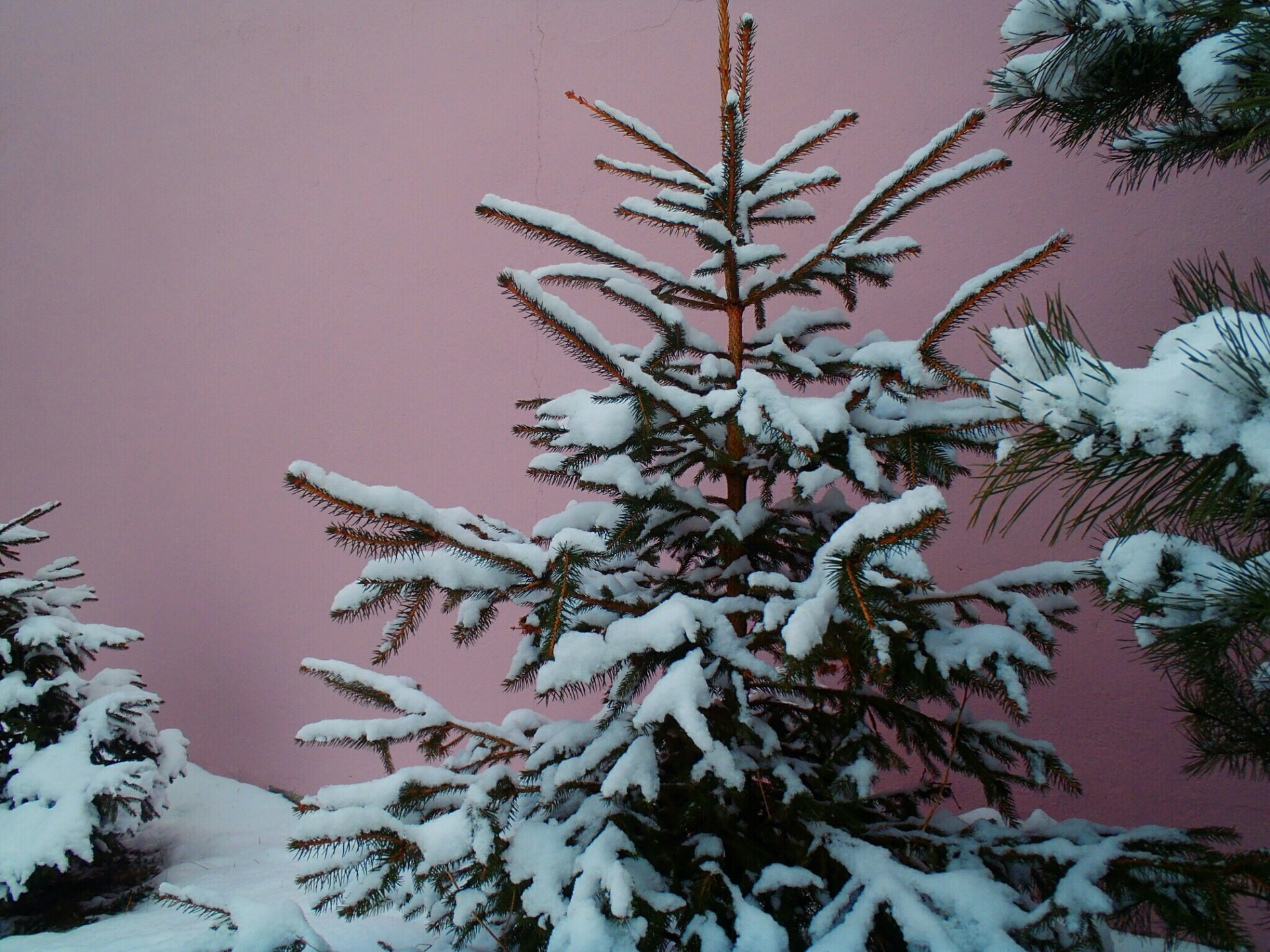 Pine  | ofabio_, decoration, pine, snow