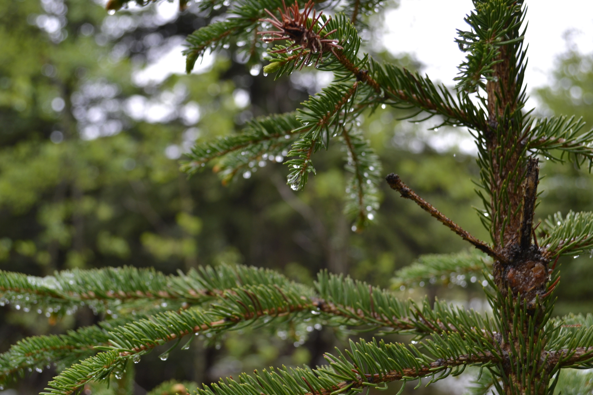 Water droplets on a pine tree branch bough in late spring in a  Rocky Mountains forest