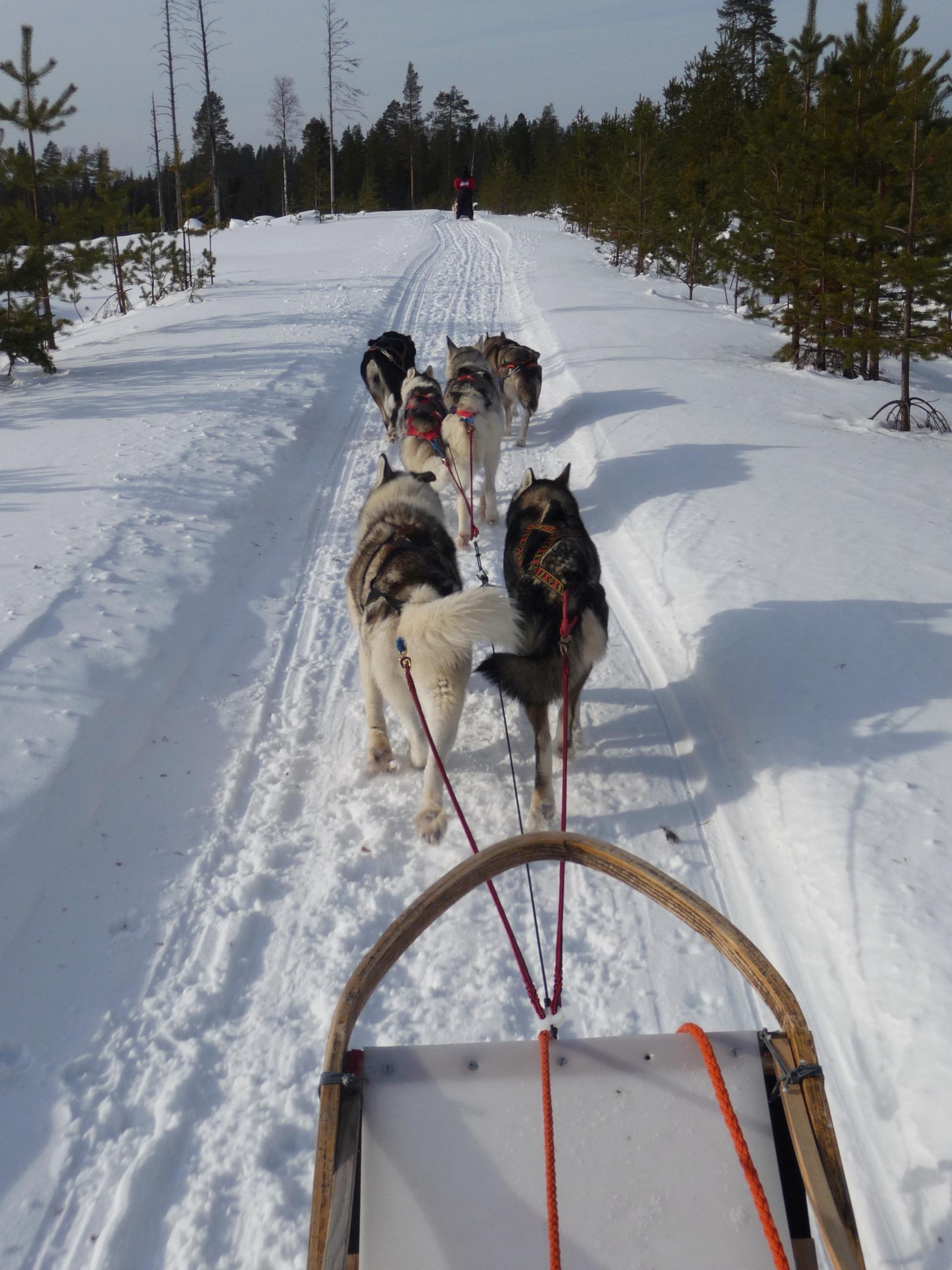 Husky sledge on snowy land