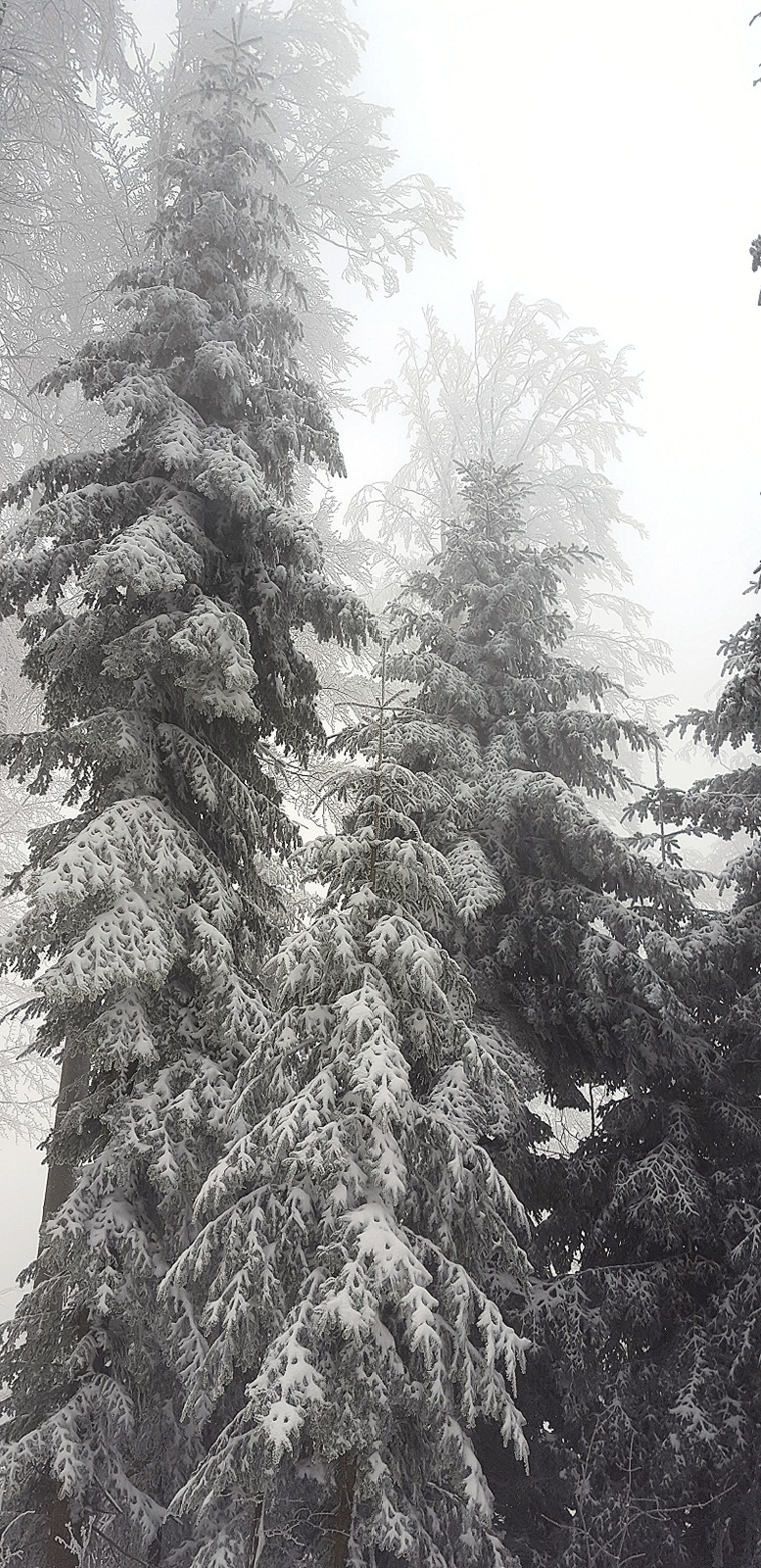 Snowy pines | edita.papic, cold, evergreen, frost