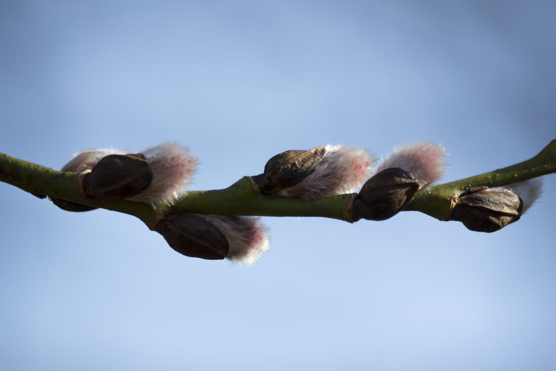 Spring - branch willow twig -  Vår - videkvist gren