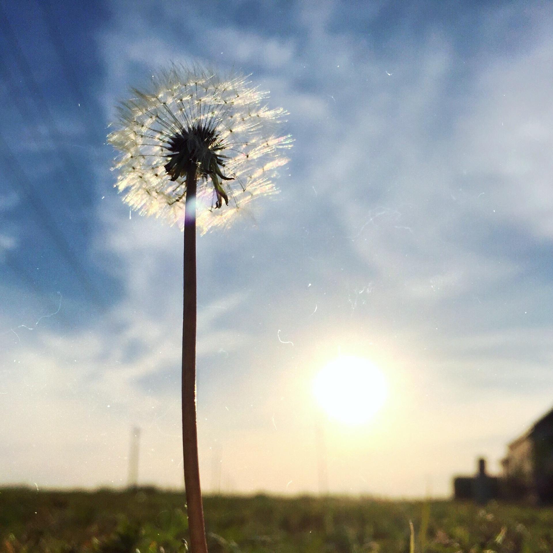 Dandelion Puff | raimy, blue sky, environment, grass
