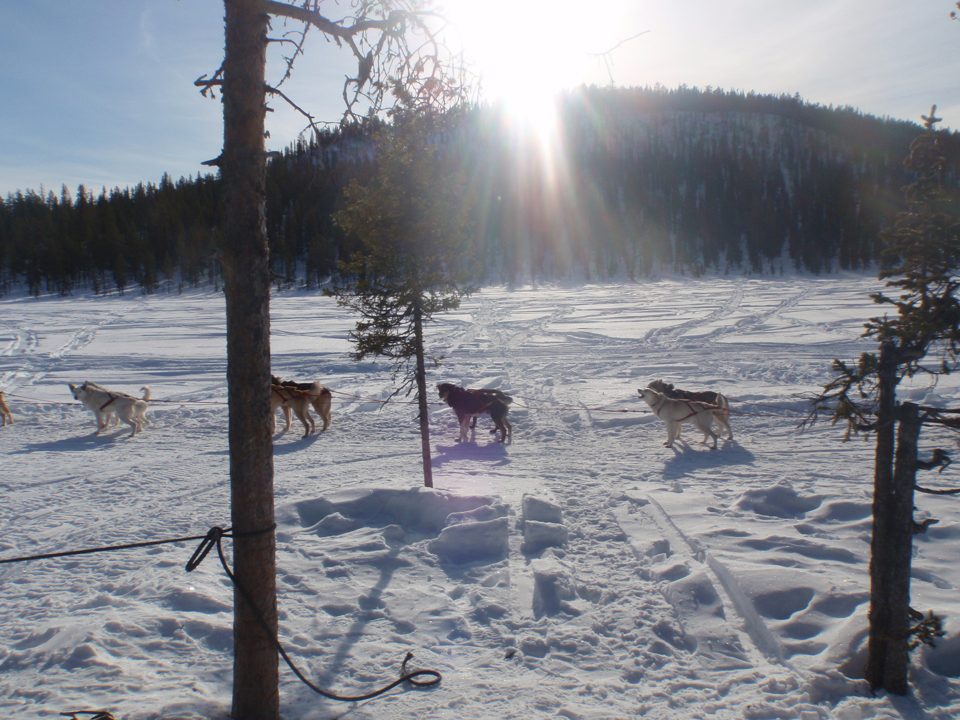 Sled Dogs   winter, weather, tree, snow
