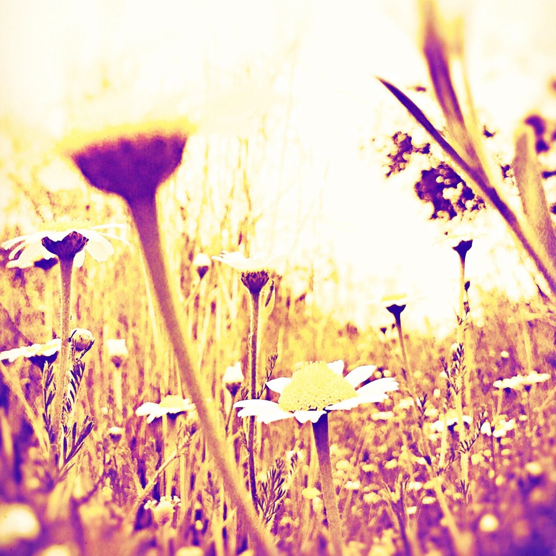 Daisies in summer sun | mezmic, grass, nature, flower