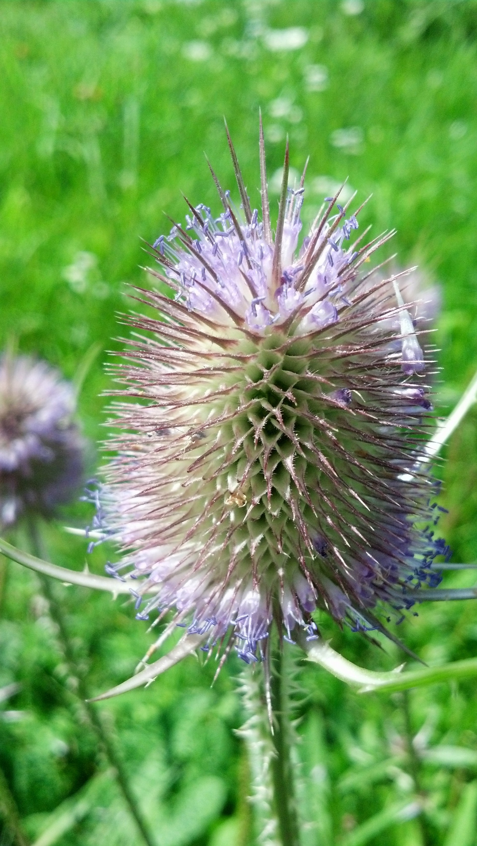 Purple Prick. A Canadian Thistle blossom