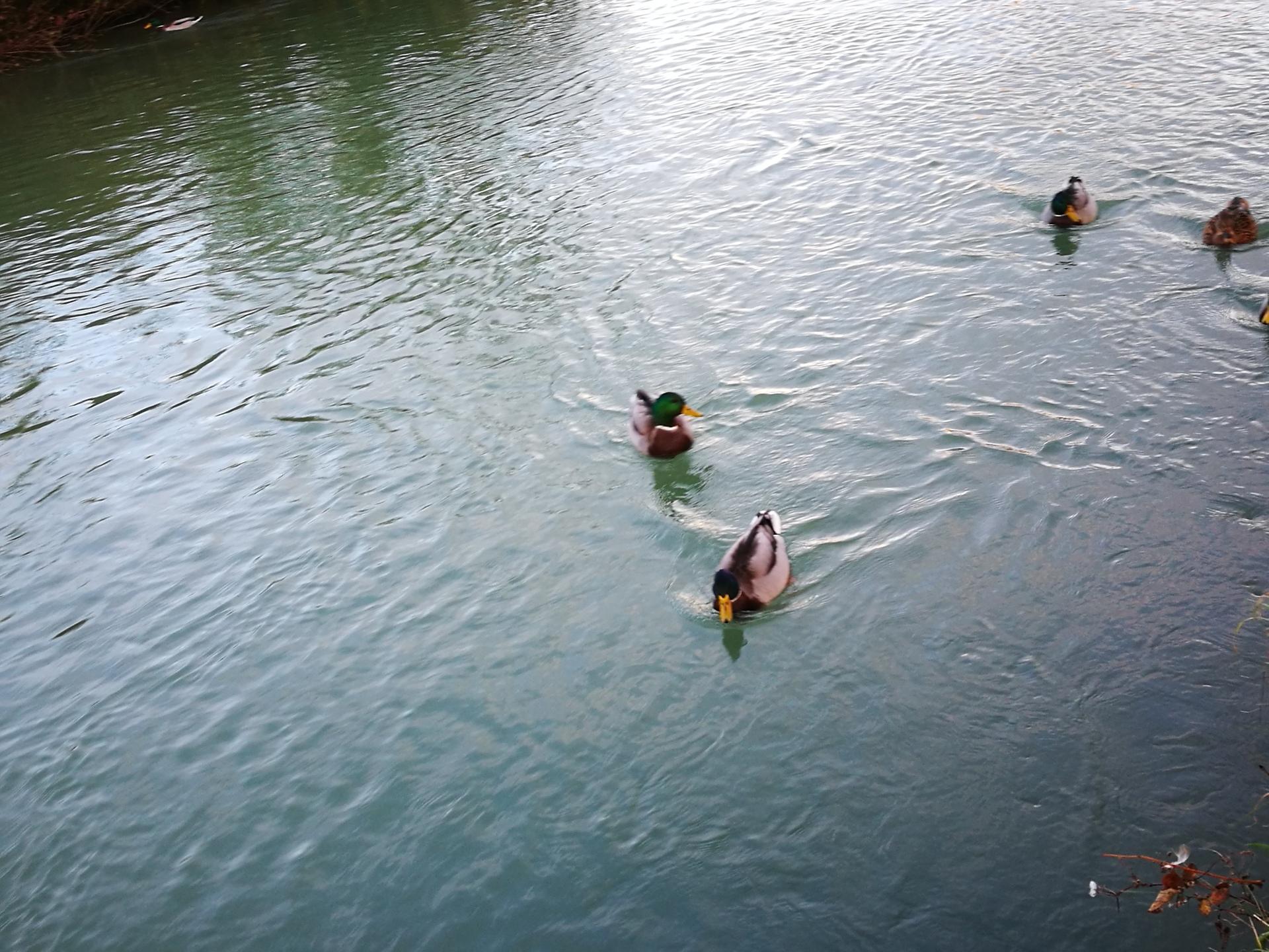 two ducks | robtimusprime, water, river, swimming