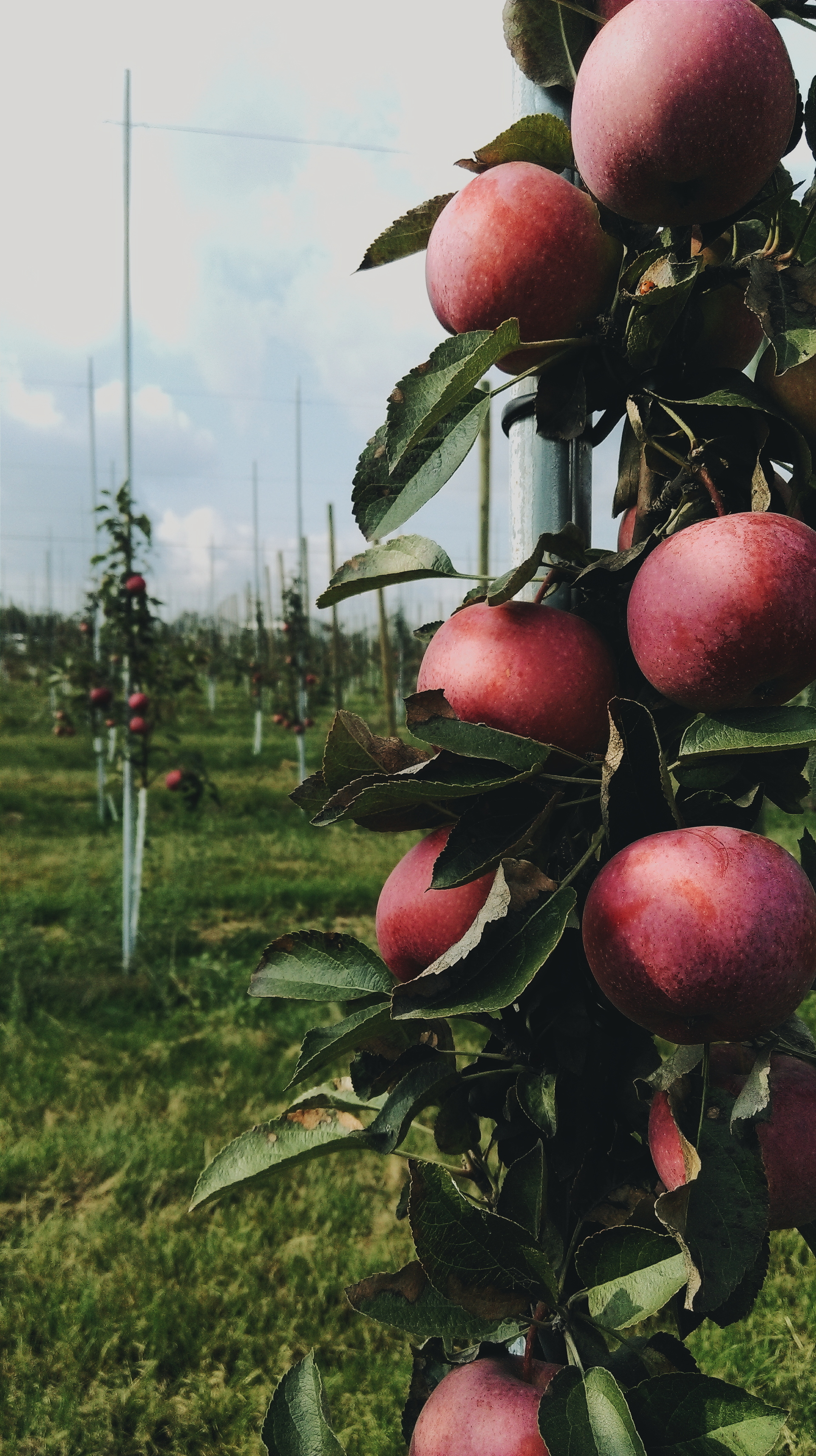 Apple orchard | myshu, agriculture, apple, apple tree