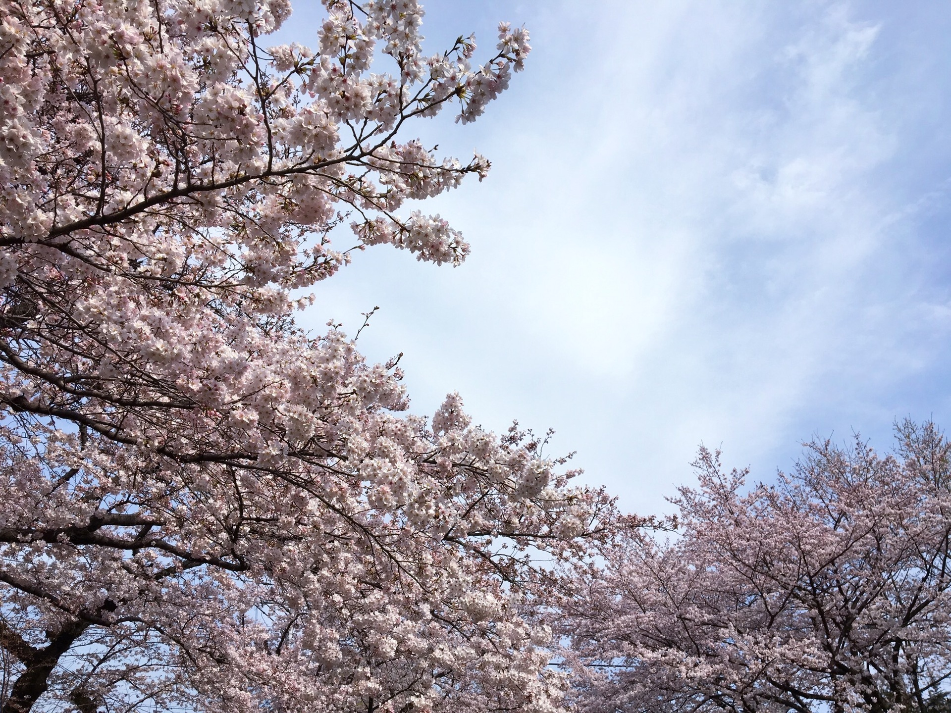 Sakura bloom | gato.gordi, landscape, nature, nobody