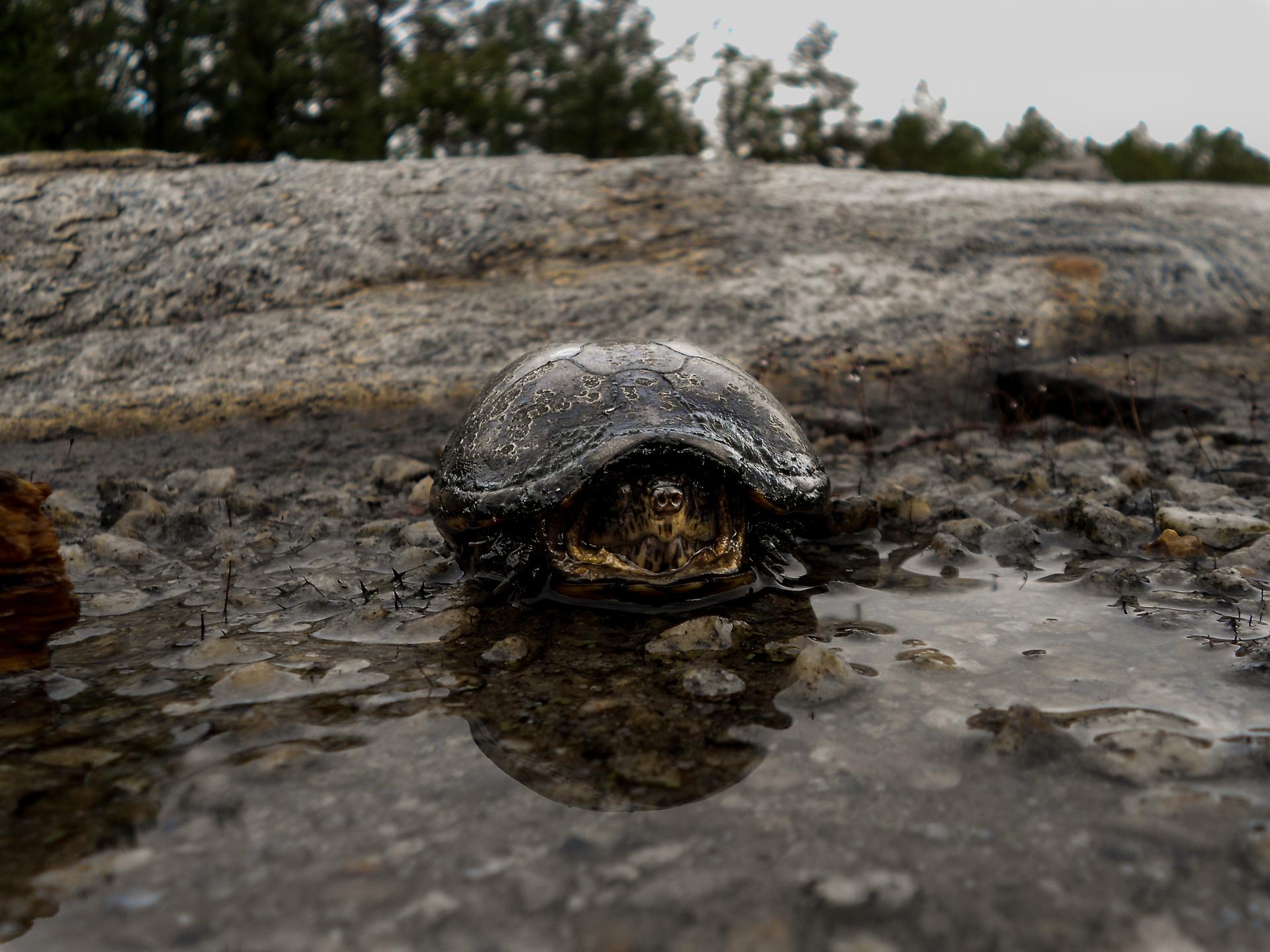 Box Turtle in the Rain