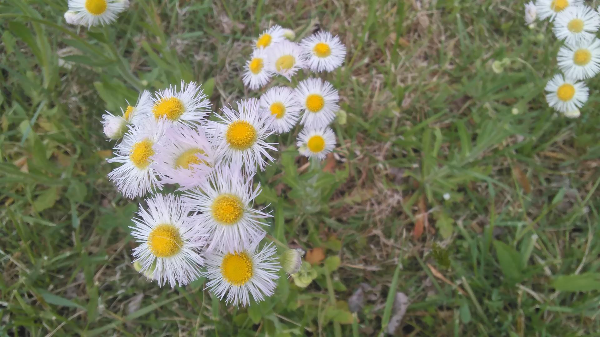 Daisies | codenamesailorearth, bloom, blossom, floral