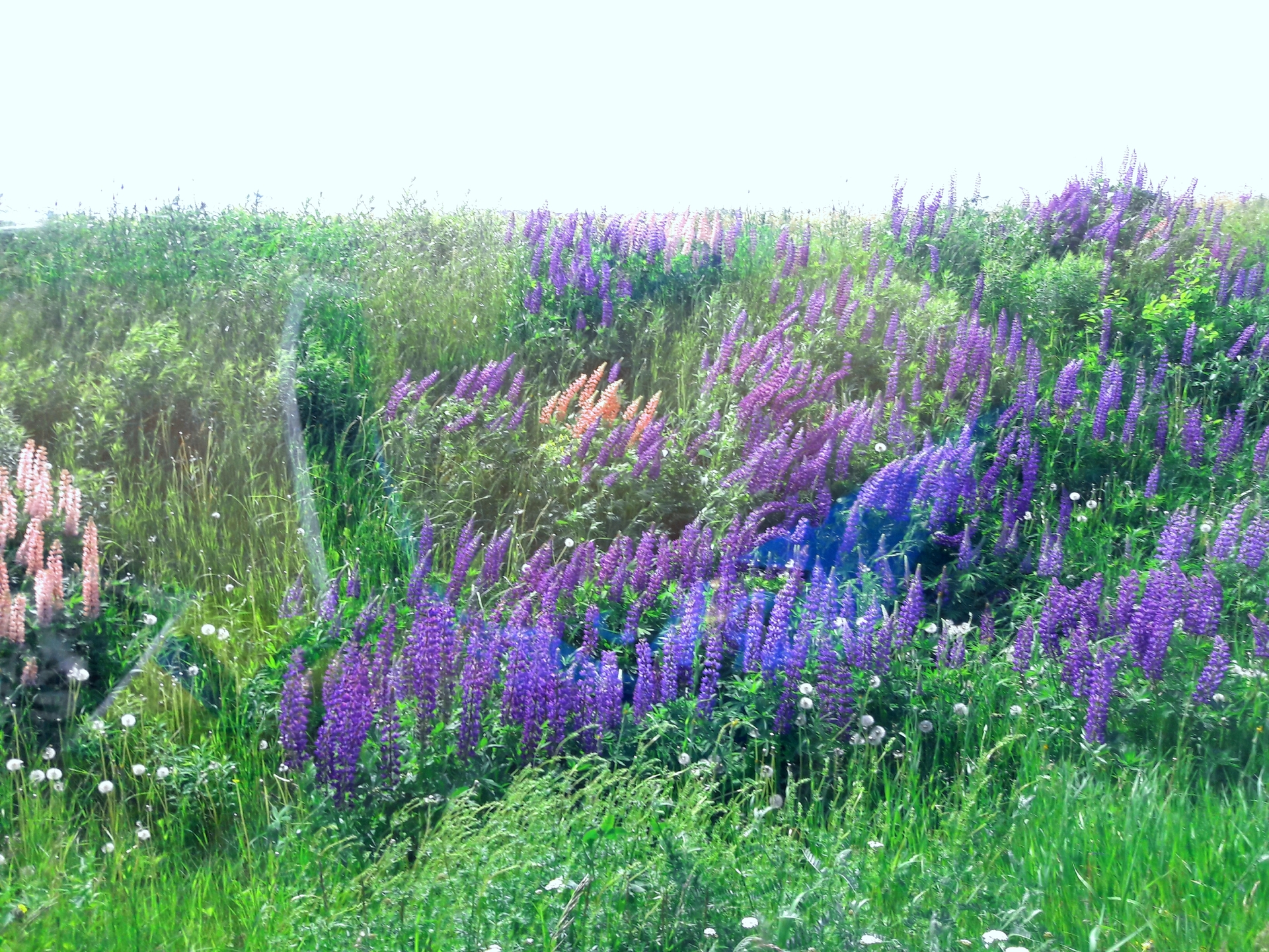 wild Lupines in Maine. | phasley, blooming, environment, field