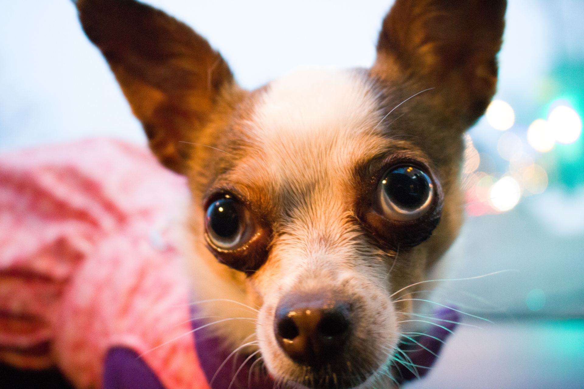 Chihuahua | rick.cognyl.fournier, cute, animal, little