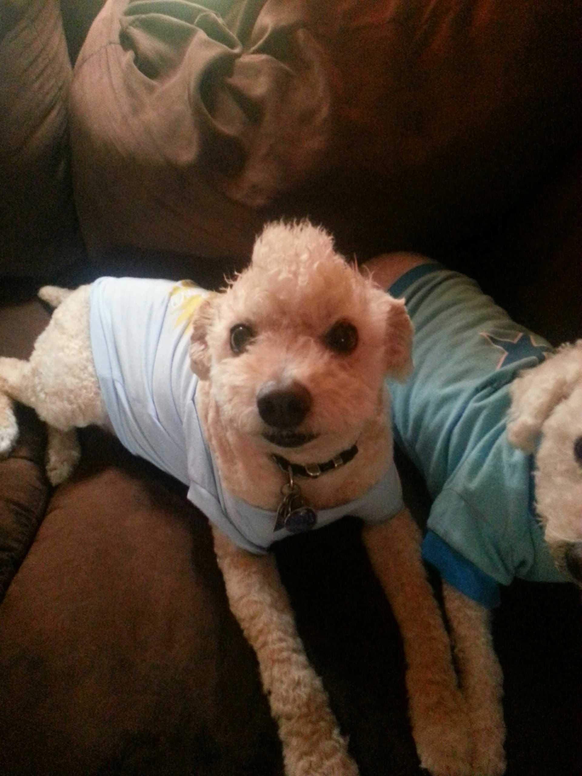 Bichon Poo with Mohawk | elise81, canine, dog, mohawk
