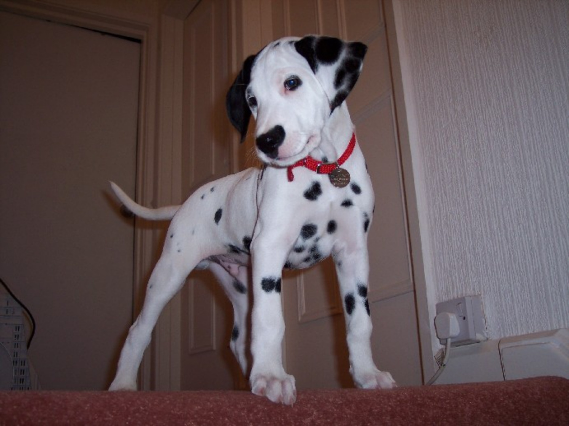 Foap Com 3 Month Old Dalmatian Puppy Male Ghost Face