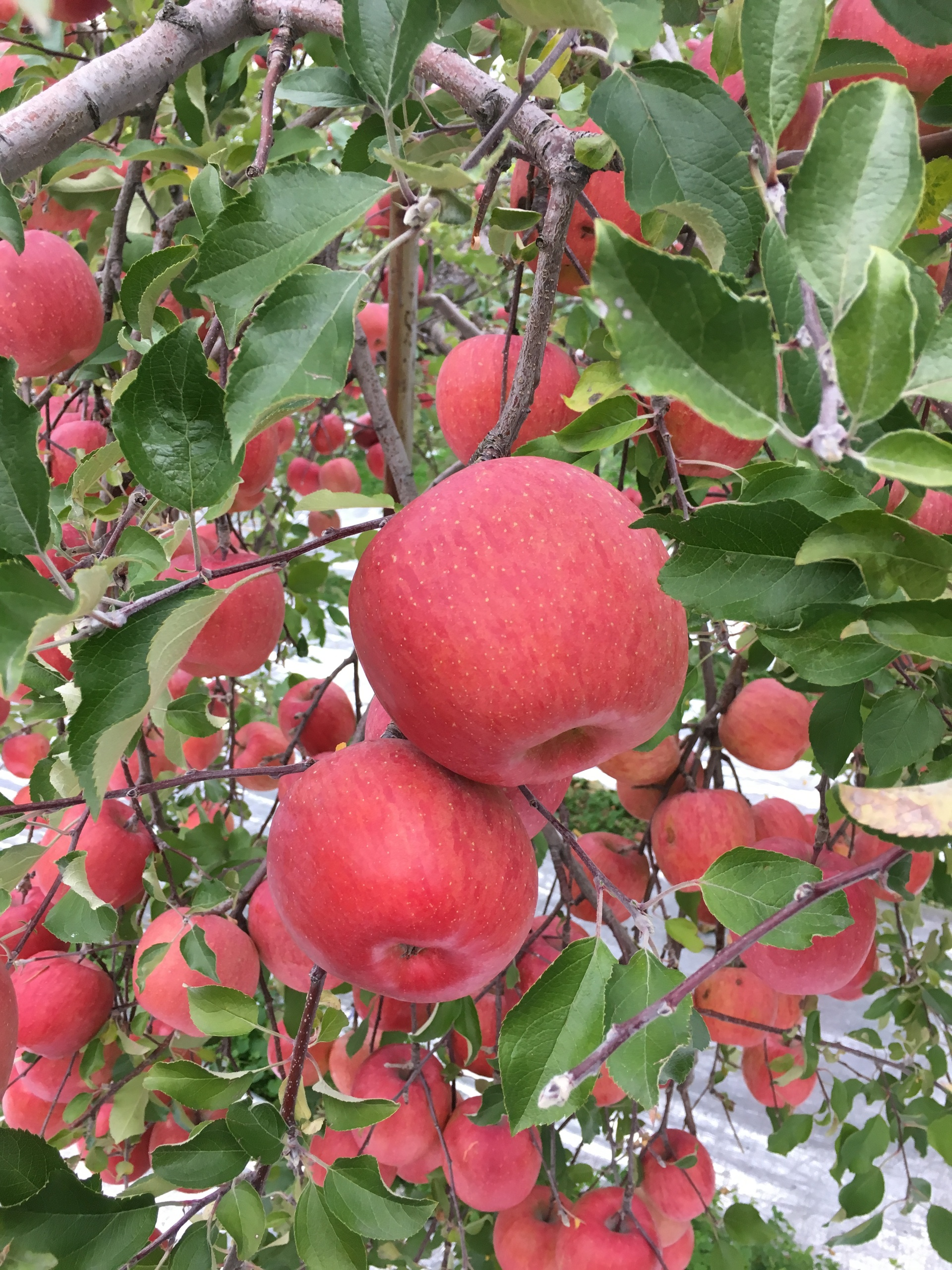 Japanese apples of 1kg each in Yamagata, Japan