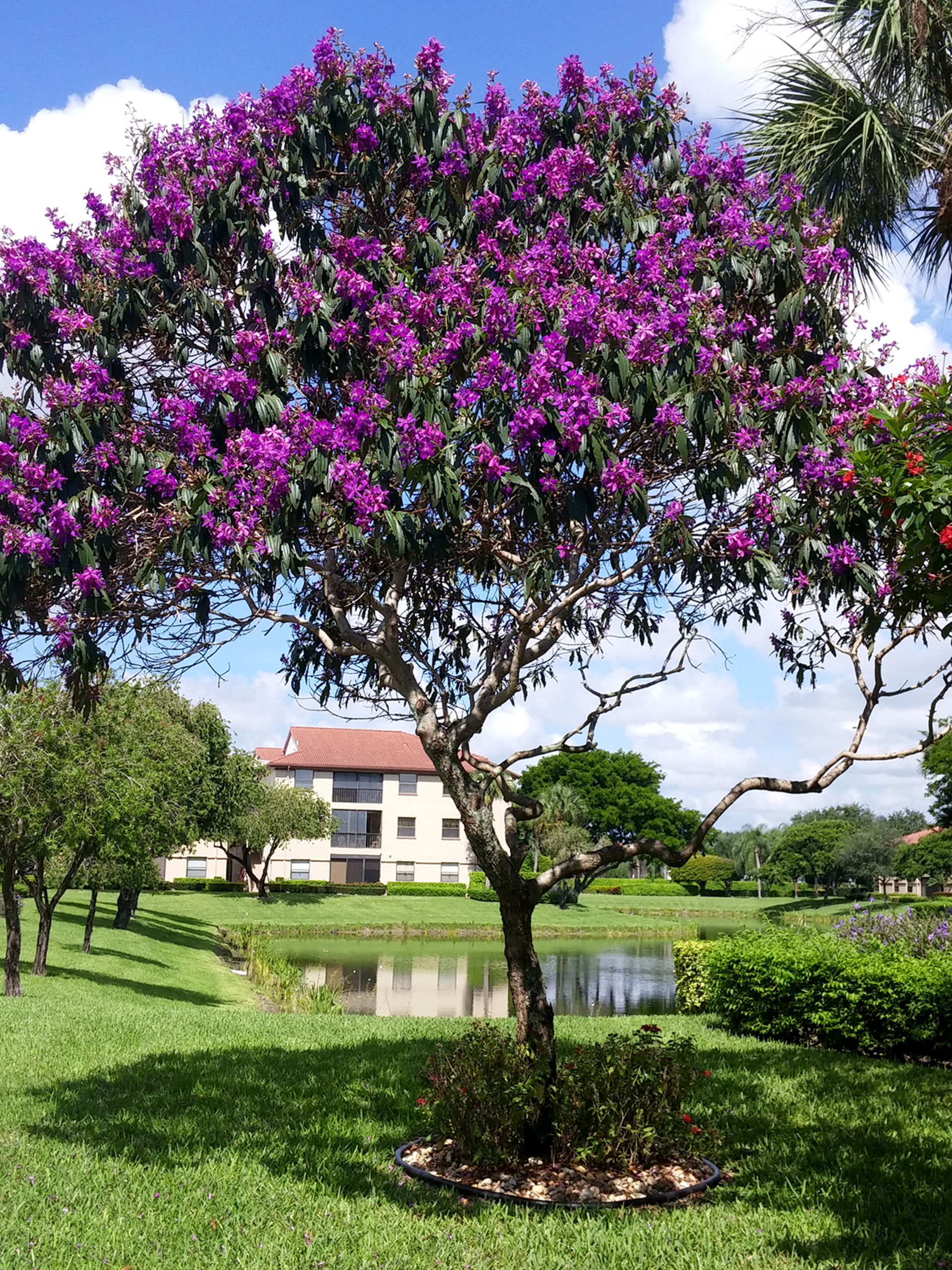 Flowering Tibouchina Tree With Purple Flowers In Florida