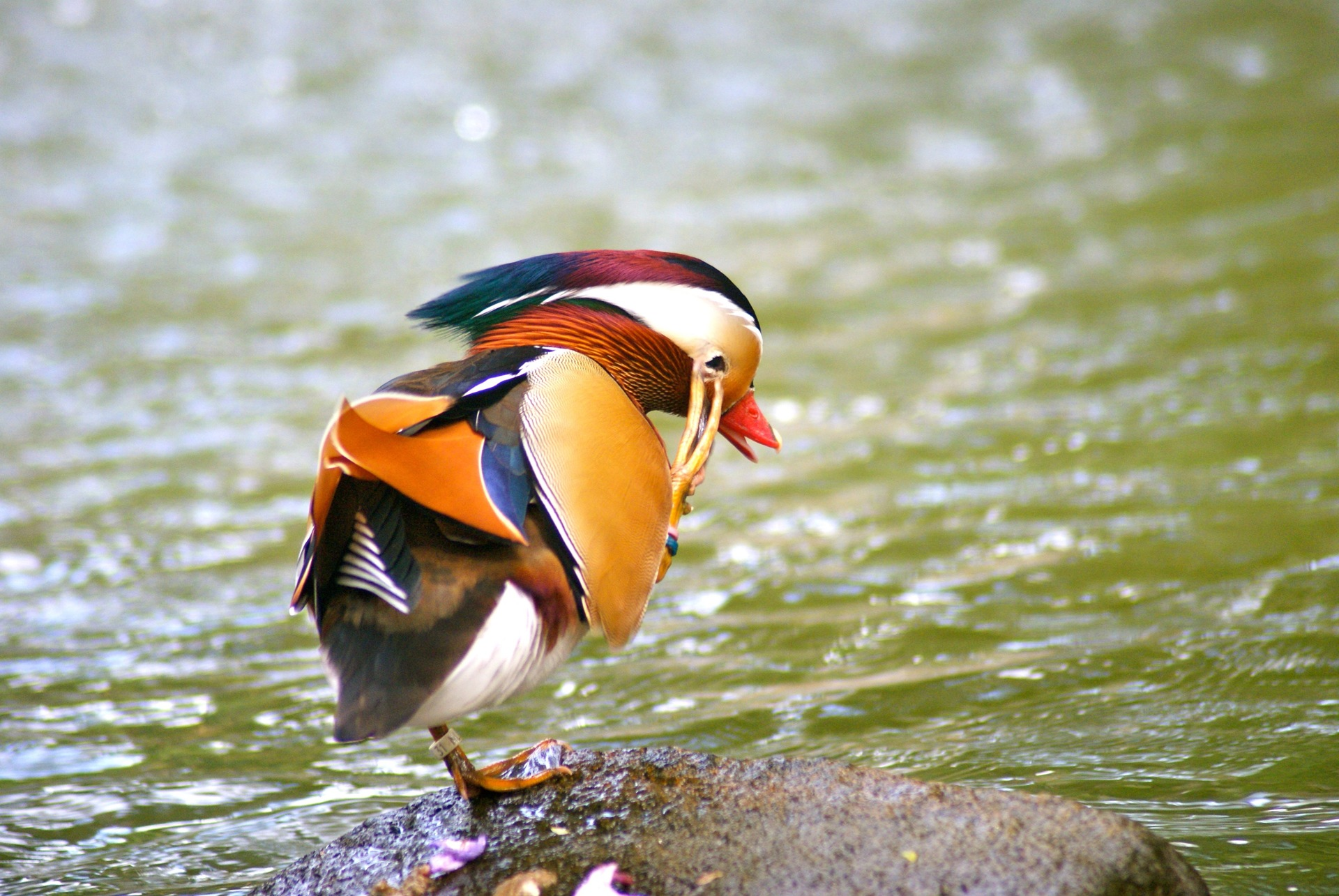 Colorful mandarin duck at riverbank