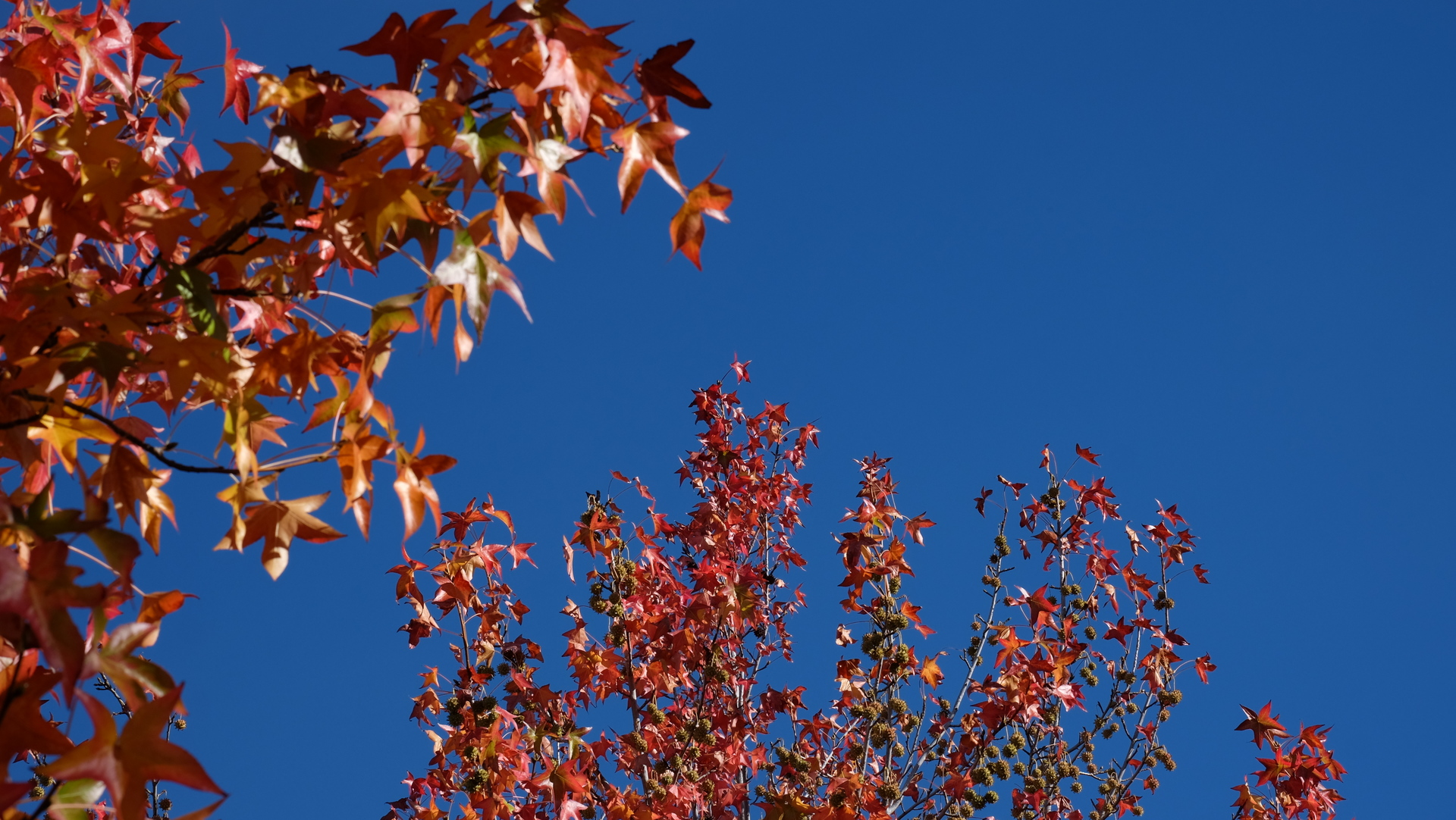 Leaves turning red during fall