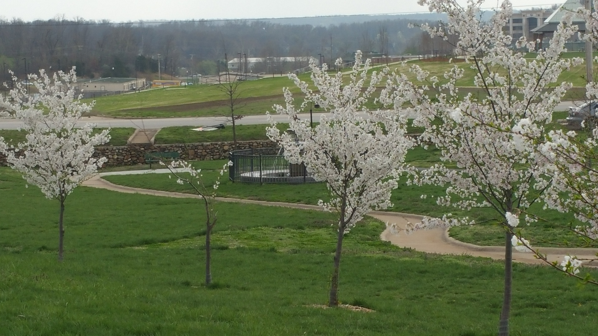 flowering trees with fountain. trees in a park with white flowers and a water fountain in the background
