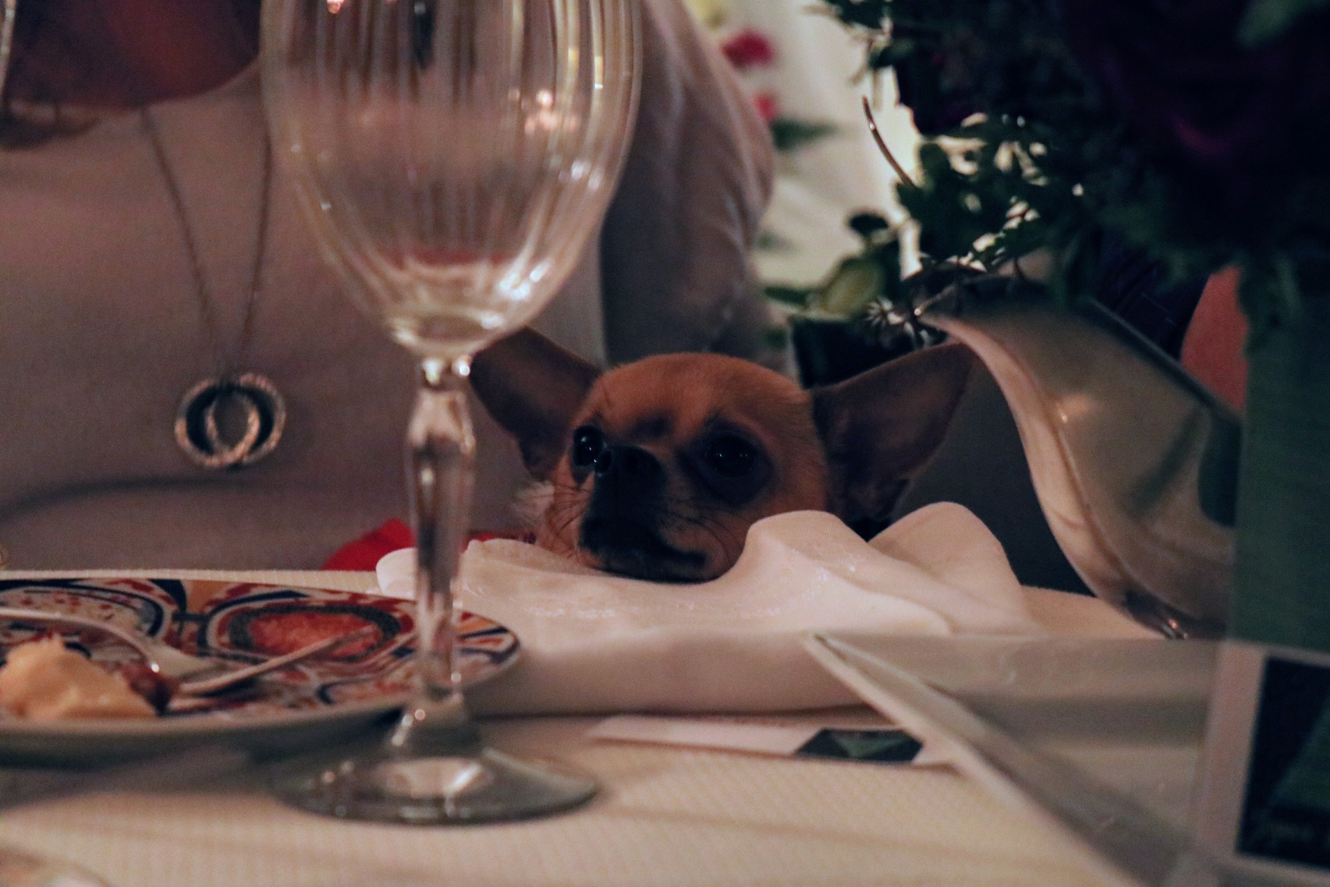 Chihuahua waiting for table scraps
