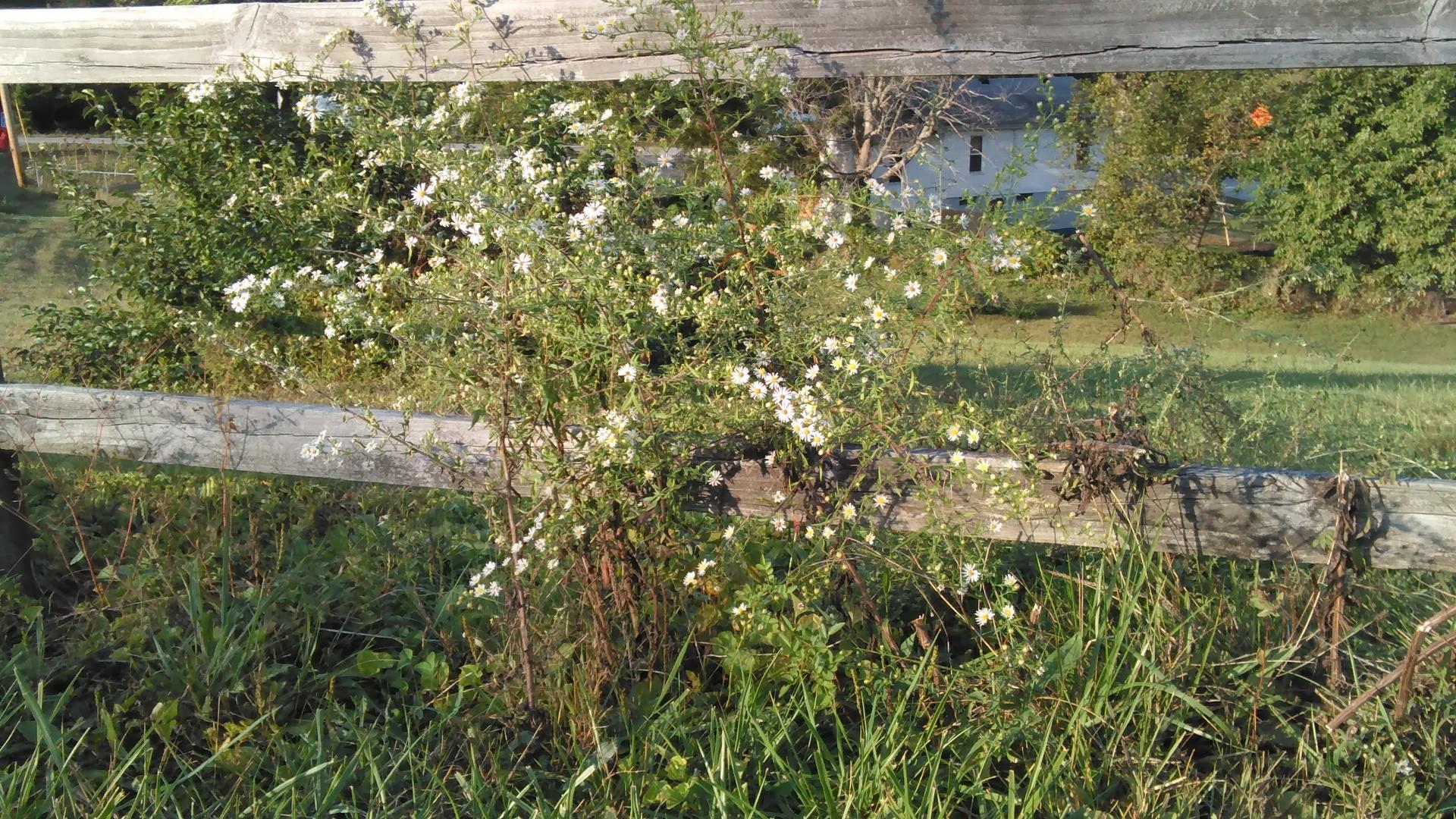 Late summer daisies | codenamesailorearth, countryside, flower, grass