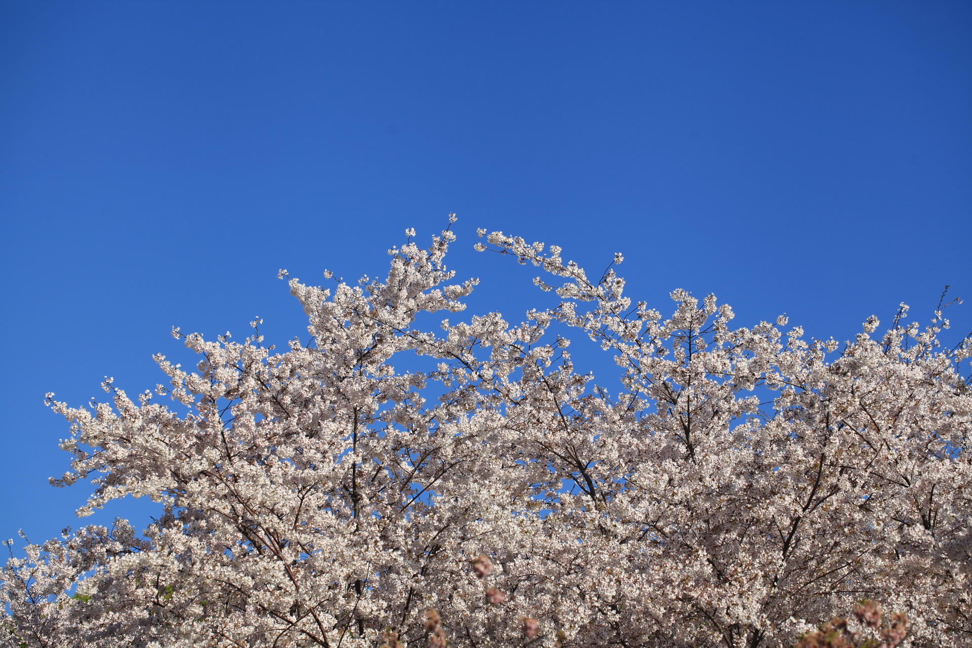 The cherry blossom | jerry32, blue sky, bright, fair weather