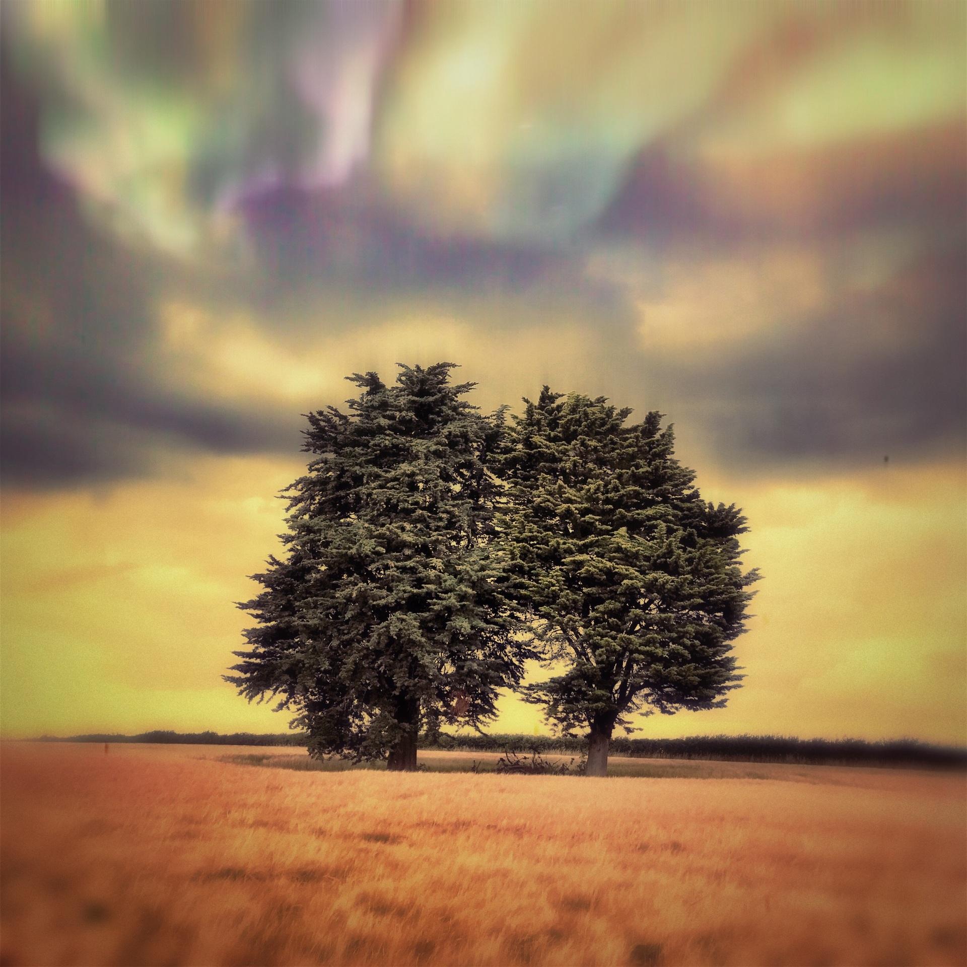 Yew tree in wheat field