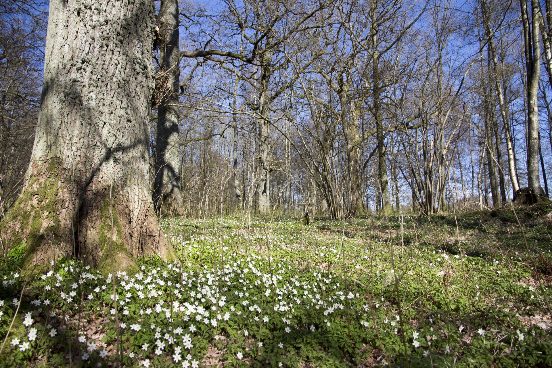 Spring wood anemone forest blue sky . Vitsippor skog blå himmel