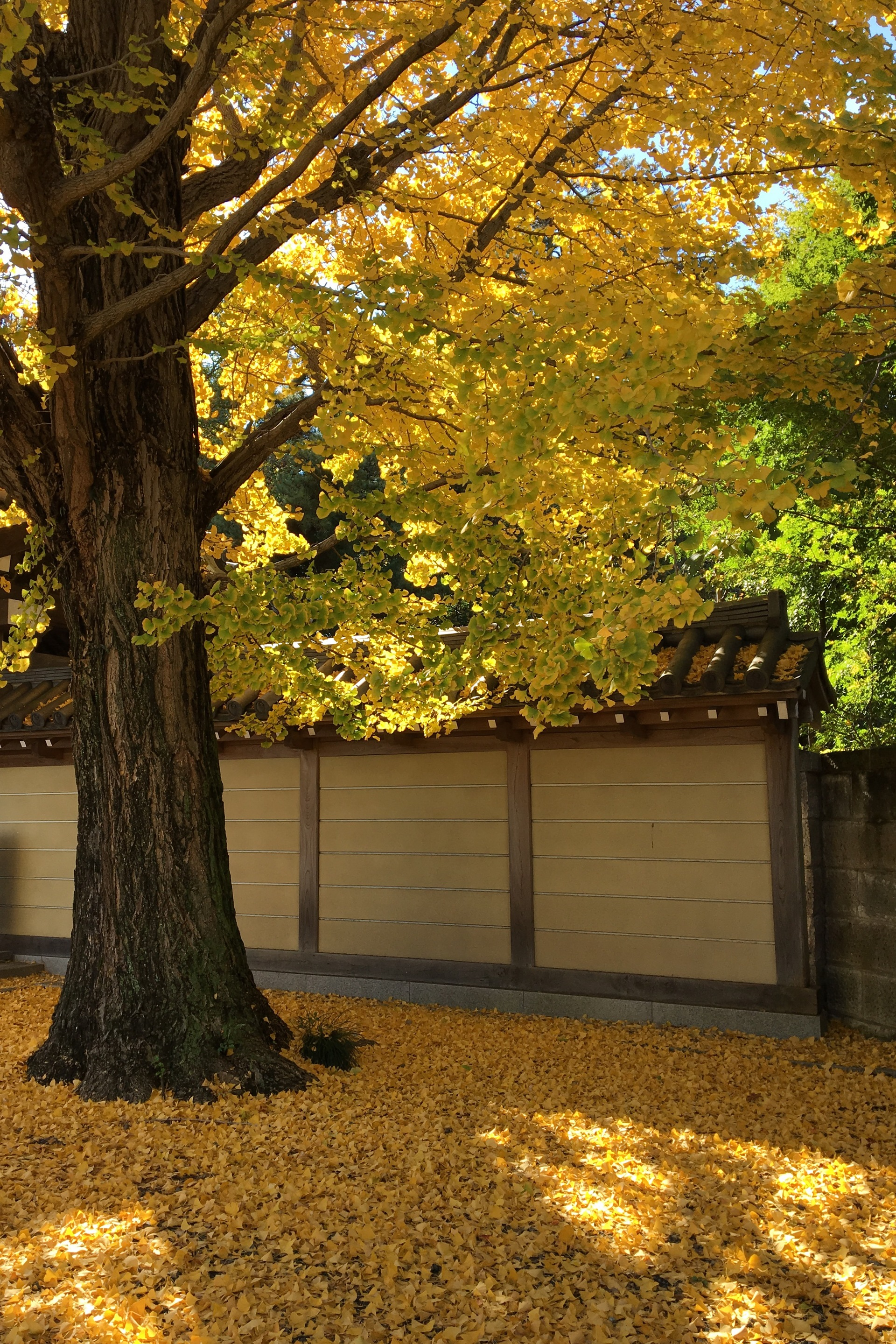 Ginkgo in fall | gato.gordi, autumn, branch, daytime