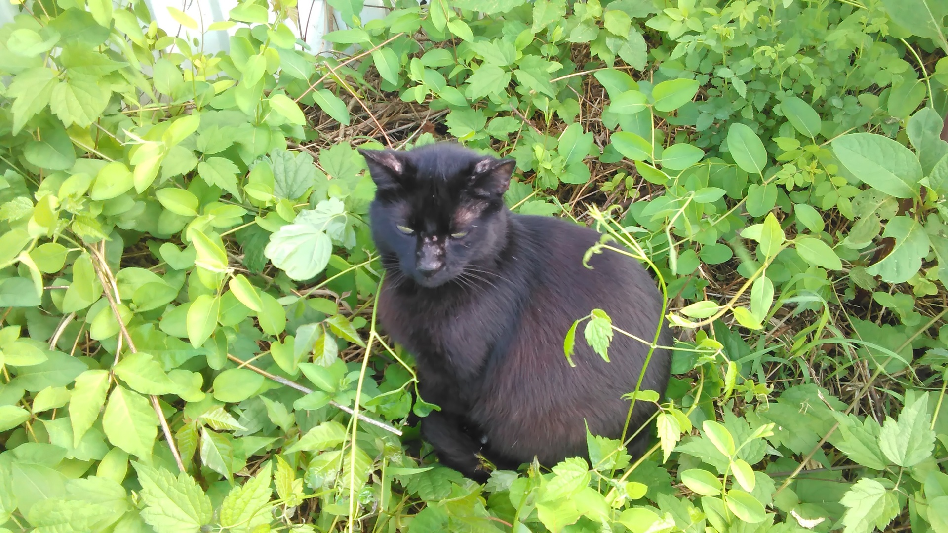 Black cat in hiding | codenamesailorearth, garden, leaf, grass
