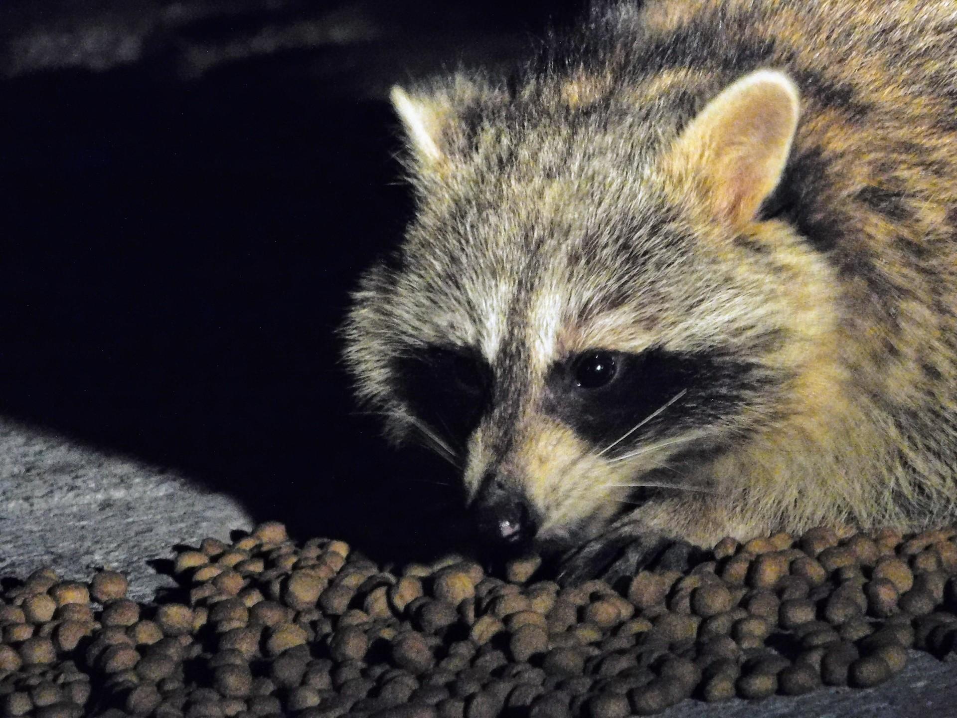 Racoon | rick.cognyl.fournier, animal, cute, eye