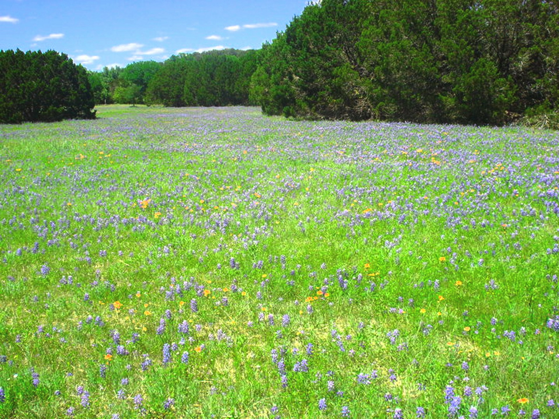 Bluebonnets in Texas | rainesjacque, countryside, field, flower